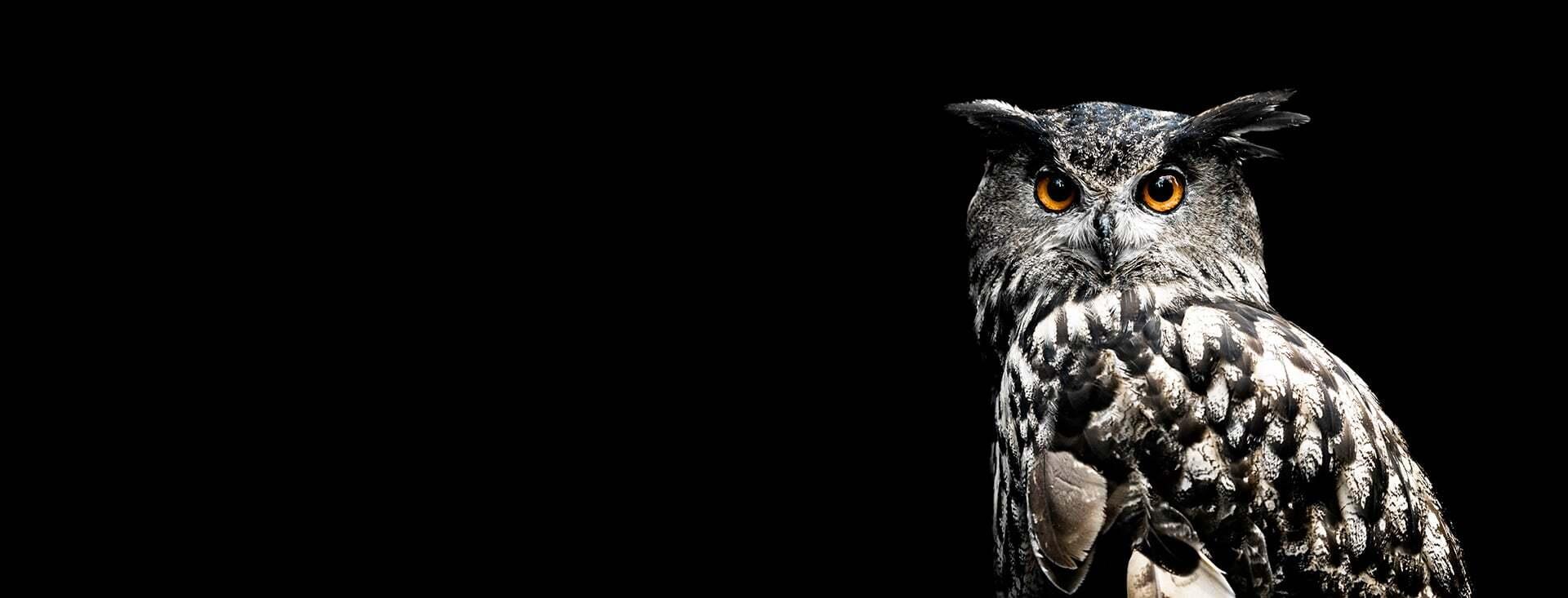 Owl Looking straight ahead